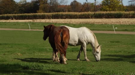 cauda : Clydesdale horses eating fresh green grass