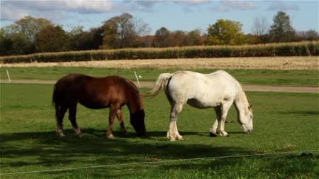 pastar : Clydesdale horses eating fresh green grass
