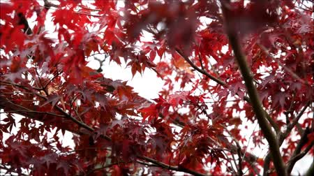 red maple : Red maple. Beautiful Colorful Autumn Leaves