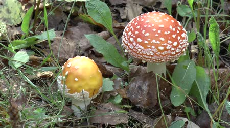 magic mushrooms : Close up of two Amanita muscaria mushrooms in forest