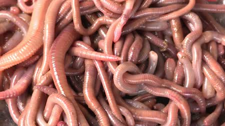 squirm : many red earthworms - bait for fishing