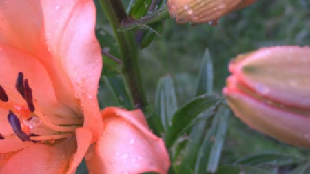 canteiro de flores : Beautiful orange lily flower Vídeos