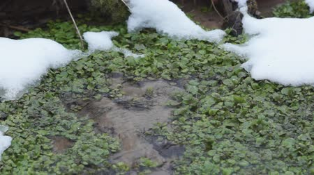 télen : Watercress (Nasturtium officinale) plant growing in winter at a groundwater fed spring.
