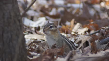 roedor : A cute Eastern Chipmunk calling in woodland near is burrow.  The chipmunk Tamias striatus calls to others before running into its burrow.