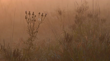 pantanal : Thistles and other wetland plants are surrounded by an orange glow as the sunrises over a fog covered marsh. Stock Footage