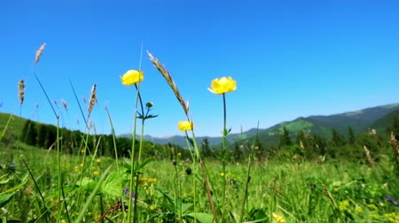 şaşırtıcı : Amazing sunny day in mountains. Summer meadow with wildflowers under blue sky. Nature background and landscape Stok Video