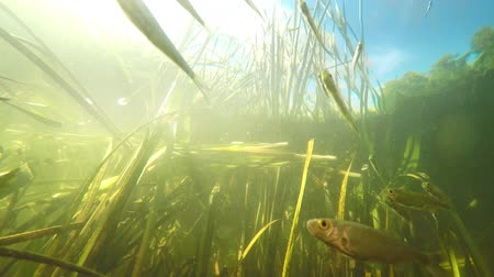 underwater video : Small river fishes swimming between weed in fresh clean water under summer sun. Underwater video