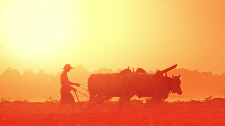cultivo : Abstract blurred video with asian farmer plowing rice field at sunrise using buffaloes. Myanmar Burma traditional agriculture Vídeos