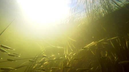 сорняки : Small river fishes swimming between weed in fresh clean water under summer sun. Underwater video