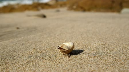 crustáceo : Hermit crab comes out of the shell tropical ocean sandy beach