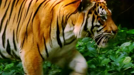 dzsungel : Asian or Bengal tiger quietly moving through dense thicket of shady tropical rain forest. Wild beast in its natural habitat. Endangered species in nature. Jungle fauna. Wildlife scene. Side view.