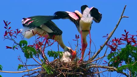 painted stork : Pair of painted storks (Mycteria leucocephala) building nest for nestling against blue sky on background. Exotic birds strengthening their house with tree branches. Bottom view. Still camera. Stock Footage