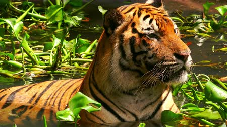 bengália : Asian or Bengal tiger lies relaxed in water to keep cool. Wild predator wallows in freshwater pond among floating green plants. Rare animal swimming and bathing. Front view. Camera stays still. Stock mozgókép