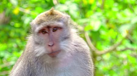 crab of the woods : Close-up of balinese exotic forest monkey chewing food. Crab-eating macaque (Macaca fascicularis). Adorable animal with funny manners. Synanthropic mammal. Bali, Indonesia. Camera stays still. Stock Footage