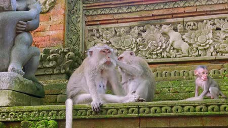crab of the woods : Close-up of crab-eating macaque (Macaca fascicularis) carefully grooming other one. Pair of monkeys conducting hygienic procedures in Sacred Monkey Forest Sanctuary, Ubud, Indonesia. Still camera.