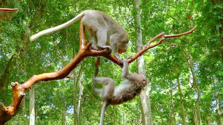 macaca fascicularis : Two crab-eating macaques (Macaca fascicularis) fighting on tree branch against foliage on background. Sacred Monkey Forest Sanctuary. Bali, Ubud, Indonesia. Slow motion. Bottom view. Still camera.