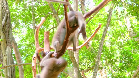 macaca fascicularis : Two crab-eating macaques (Macaca fascicularis) fighting on tree branch against foliage on background. Sacred Monkey Forest Sanctuary. Bali, Ubud, Indonesia.  Bottom view. Still camera. Stock Footage