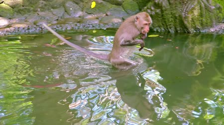 crab of the woods : Crab-eating macaque (Macaca fascicularis) carefully walking in water, swimming and looking around. Funny monkey fooling around. Sacred Monkey Forest Sanctuary. Bali, Ubud, Indonesia. Slow motion.