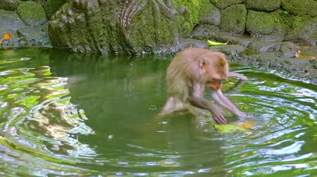 crab eating macaque : Crab-eating macaque (Macaca fascicularis) carefully walking in water and playing with green leaf. Funny monkey fooling around. Sacred Monkey Forest Sanctuary. Bali, Ubud, Indonesia. Slow motion. Stock Footage