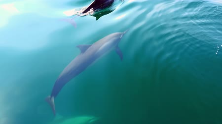 şaşırtıcı : Several spinner or Long-Snouted Dolphins (Stenella longirostris) swim underwater in calm tropic sea lit by sun. Group of gorgeous intelligent marine mammals passing by camera. Top view. Sri Lanka.