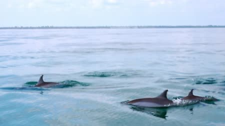 yunus : Big group of porpoising Spinner Dolphins (Stenella longirostris). Gorgeous marine mammals swimming and breaching off. Sea animals movement and migration concept. Sri Lanka. Side view. Slow motion.