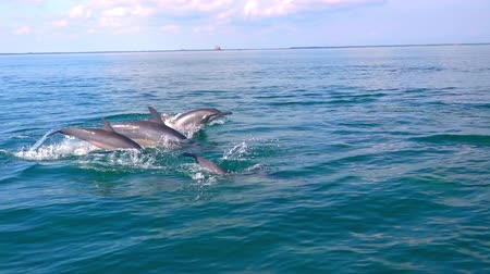 yunus : Several Spinner Dolphins swimming fast, porpoising, jumping out of water, hunting tuna. Beautiful and intelligent marine animals chasing fish during morning hunt. Sri Lanka. Side view. Slow motion.