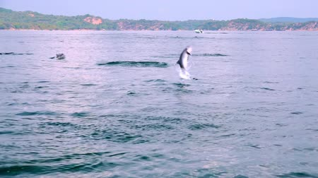 jump away : Long-Snouted Dolphins swimming away, jumping out of sea and performing tricks during morning hunting for fish. Group of marine carnivores chasing tuna in ocean. Sri Lanka. Long shot. Slow motion.