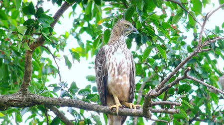 crested hawk eagle : Crested Hawk Eagle (Nisaetus cirrhatus) sitting on tree branch in Udawalawe national Park, Sri Lanka Stock Footage