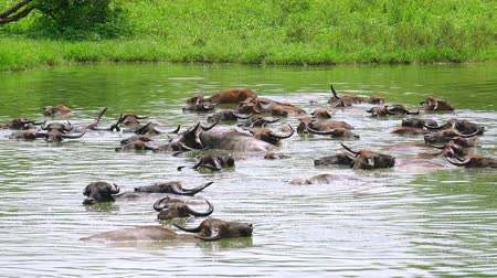 азиатский : Zooming video Asian water Buffalo enjoying diving in pond, jawing and looking at camera. Udawalawe National Park. Sri Lanka wild animals