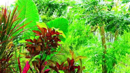 floresta tropical : Wet season in tropics. Amazing plants and flowers in fantasy garden. Zooming video with heavy rain original audio Stock Footage