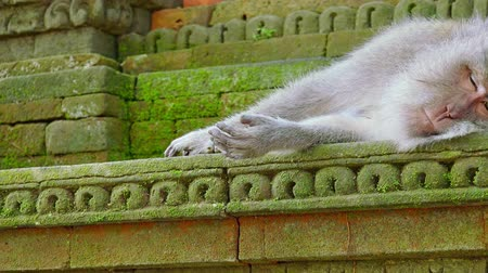 crab eating macaque : Camera zooms out from hand of crab-eating macaque (Macaca fascicularis) to full monkey napping on mossy temples wall in Sacred Monkey Forest Sanctuary. Bali, Ubud, Indonesia. Sleeping wild animal. Stock Footage