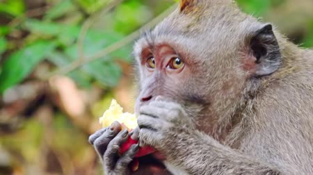 macaca fascicularis : Close-up of balinese exotic forest monkey chewing food. Crab-eating macaque (Macaca fascicularis). Adorable animal with funny manners. Synanthropic mammal. Bali, Indonesia. Camera stays still. Stock Footage