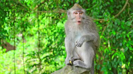 crab of the woods : Balinese long-tailed macaque (Macaca fascicularis) sitting on stone, eating fresh fruit and looking around. Fidgety monkey chewing food. Animal feeding concept. Bali, Indonesia. Camera stays still.