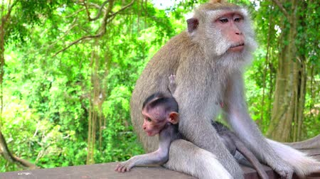 crab of the woods : Mother monkey grabs baby and walks away. Balinese long-tailed macaques. Tropical forest dwellers, omnivore species. Animal maternity and care concept. Bali, Indonesia. Close-up. Camera stays still.