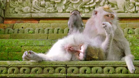 crab eating macaque : Family of long-tailed macaques (Macaca fascicularis) in Sacred Monkey Forest Sanctuary, Bali, Ubud, Indonesia. One adult monkey grooms other while their child climbs up stairs. Camera zooms out. Stock Footage