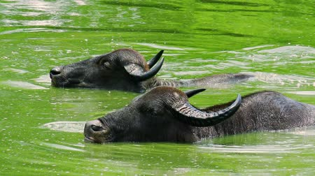 protrude : Wild Asian water buffalos bathing and splashing in green lake full of algae, and going under water one by one. Exotic animals in natural habitat. Udawalawe National Park. Sri Lanka. Still camera.