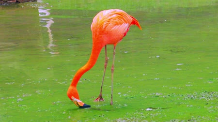 stagnant : Elegant pink flamingo feeding in stagnant water covered by green algae. Tall exotic bird with long legs forages for food in shallow freshwater pond. Eating tropical animal concept. Camera stays still.