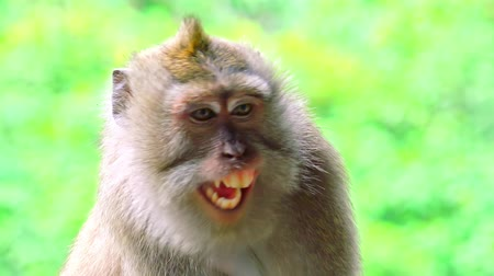 macaca fascicularis : Close-up of Balinese long-tailed macaque looking around and yawning. Cute sitting monkey, exotic forest inhabitant, asian species. Laziness and boredom concept. Bali, Indonesia. Camera stays still.