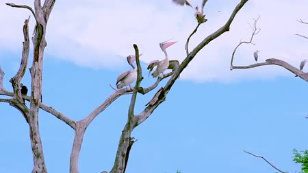 spot billed pelican : Spot-billed Pelicans grooming themselves perched on dry tree branches. Natural landscape and wild animals of Udawalawe national Park, Sri Lanka. Slow motion video with original audio