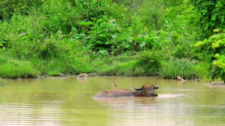 protrude : Asian water Buffalo lying relaxed in freshwater pond, chewing and looking at camera. Exotic bovine bathing in water to keep cool. Udawalawe National Park, Sri Lanka. Long shot. Cam stays still.