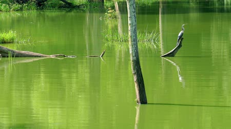 protrude : Grey Heron perched on piece of wood in middle of lake covered with green algae, with logs and grass sticking out of water. Landscape of Udawalawe national Park, Sri Lanka. Video with original audio.