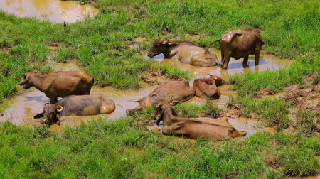 protrude : Group of Asian water buffalos lying in muddy puddle on sunny day. Exotic wild bovine mammals bathing in dirt, wiggling ears to repel mosquitos. Udawalawe National Park. Sri Lanka. Still camera.