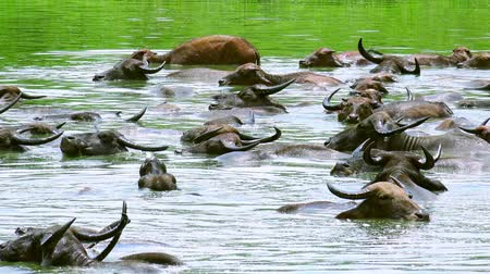 protrude : Large group of wild Asian water buffalos with beautiful horns bathing on sunny day in pond covered with algae. Exotic cattle swimming under sunshune. Udawalawe National Park. Sri Lanka. Still camera.