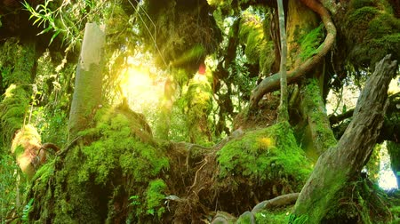 плотный : Bright sunlight breaking through dense thicket of exotic plants with green leaves and massive trunk of tropical tree overgrown with thick moss. Panoramic view. Camera moves from bottom to top. Стоковые видеозаписи
