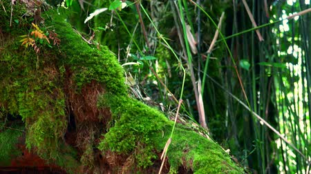 inclinado : Inclined tree trunk overgrown with thick green moss against tall stems of exotic plants on background. Lush vegetation of Malaysian tropical rainforest. Enchanted forest concept. Panning video. Stock Footage