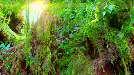 sűrű : Bright sunlight breaking through dense thicket of exotic plants with green leaves and massive trunk of tropical tree overgrown with thick moss. Panoramic view. Camera moves from bottom to top. Stock mozgókép