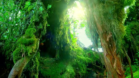 плотный : Sun shining through dense thicket of tropical jungle and illuminating tree overgrown with green fluffy moss. Mysterious nature of Malaysian rainforest. Fairytale forest concept. Camera zooms out.