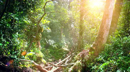 плотный : Bright sunlight illuminating depths of Malaysian tropical rainforest with dense vegetation. Thicket of exotic plants, shrubs and trees lit by sun rays breaking through foliage. Camera stays still.