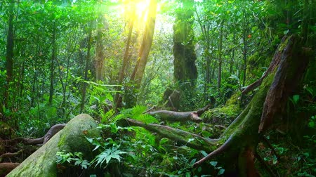 плотный : Sunlight breaking through dense foliage of trees and shrubs growing in foggy tropical jungle. Magical beauty of forest illuminated by sun. Exotic nature of Malaysian rainforest. Camera stays still.