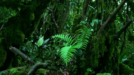 sűrű : Beautiful tropical ferns, shrubs and trees covered with green moss hanging from trunks. Lush vegetation in mystical shady forest concept. Diverse flora of Malaysian rainforest. Camera zooms out.